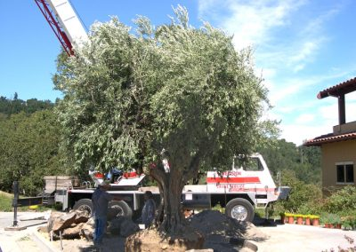 Specimen Trees & Ancient Olives